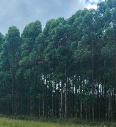forêt d'eucalyptus en Afrique du Sud